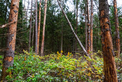 Autumn forest, tall trees, fallen pine. And some snow, raspberry bushes Stock Photo