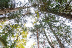 Autumn forest, tall trees, pine trees, birch, dry branches. Autumn forest, tall trees, pine trees, a view from the bottom up Stock Image