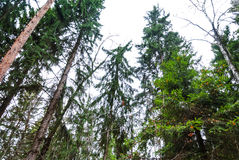 Autumn forest, tall trees, pine. Trees, a view from the bottom up Stock Images