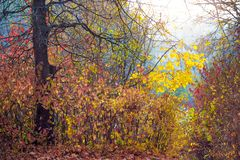 Autumn forest with thickets of young trees near the old thick tree. Multicolored leaves on trees in the fall_. Autumn forest with thickets of young trees near royalty free stock images