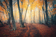 Autumn forest with trail in fog. Fall woods Stock Image