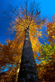 Autumn Forest Tree Royalty Free Stock Photography