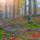 Autumn forest and tree roots in the mountains. Autumn forest in the mountains. Fallen leaves Royalty Free Stock Photos