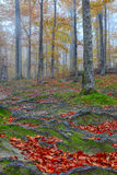 Autumn forest and tree roots in the mountains. Autumn forest in the mountains. Fallen leaves Royalty Free Stock Image