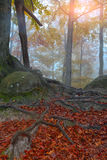 Autumn forest and tree roots in the mountains Royalty Free Stock Image