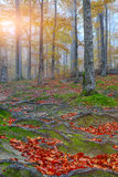Autumn forest and tree roots in the mountains. Autumn forest in the mountains. Fallen leaves Royalty Free Stock Images