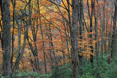 Autumn forest trees. Dense Autumn forest trees background Stock Photos