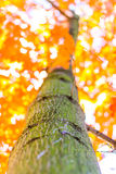 Autumn forest trees from the bottom. nature green wood sunlight backgrounds, Soft focus! shallow depth of field Stock Photo