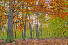 Autumn forest. Trees with colorful leaves in autumn forest Royalty Free Stock Image