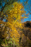 Autumn. Forest with trees and colorful leaves Stock Photography