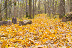 Autumn forest. Trees decorated with colorful leaves and a road with fallen leaves royalty free stock photography