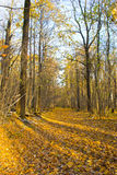 Autumn forest. Trees decorated with colorful leaves and a road with fallen leaves royalty free stock image