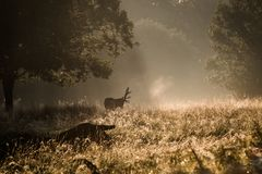 Autumn forest trees and dreer. nature wood sunlight backgrounds. Autumn forest trees and deer. nature wood sunlight Royalty Free Stock Photography