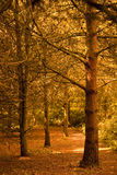 Autumn Forest. Trees in early autumn with warm sunlight Royalty Free Stock Image