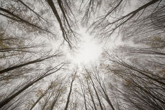 Autumn forest trees. Looking upwards autumn forest trees Royalty Free Stock Images