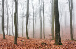 Autumn forest with trees at mist Royalty Free Stock Images