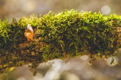 Autumn forest trees moss closeup focus big. Autumn forest trees. nature green wood  backgrounds beautiful closeups Stock Photography