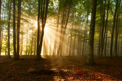 Free Autumn Forest Trees. Nature Green Wood Sunlight Backgrounds. Royalty Free Stock Photos - 40465478
