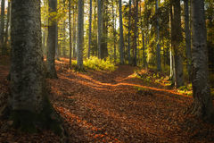 Autumn forest trees Royalty Free Stock Image