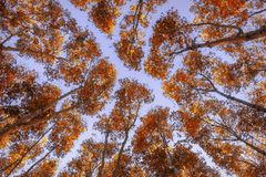 Autumn forest. Trees pattern. Looking up the blue sky. Nature background Stock Photography