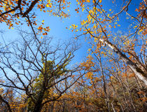 Autumn forest. Trees pattern. Looking up the blue sky. backgroun Royalty Free Stock Photo