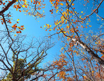 Autumn forest. Trees pattern. Looking up the blue sky. backgroun. Autumn forest. Trees pattern. Looking up the blue sky. Nature background Stock Photos