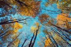 Autumn forest. Trees pattern. Looking up the blue sky. backgroun Royalty Free Stock Image