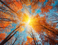 Autumn forest. Trees pattern. Looking up the blue sky. backgroun Royalty Free Stock Photos