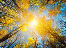 Autumn forest. Trees pattern. Looking up the blue sky. backgroun Royalty Free Stock Photography