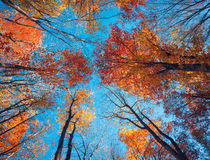 Autumn forest. Trees pattern. Looking up the blue sky. backgroun Stock Images