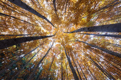 Autumn forest treetops royalty free stock photo