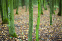 Autumn forest. Royalty Free Stock Image