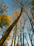 Autumn in forest: trunks of trees with bare branches stretch into the blue sky, in places the bright yellow foliage was preserved. Autumn in the forest: trunks Royalty Free Stock Photo
