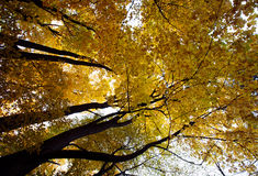 Autumn forest, trunks and yellowed crown Royalty Free Stock Photo