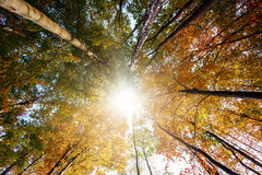 Autumn forest, trunks and yellowed crown in sun rays Stock Photo