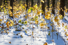 Autumn forest under first snow. Winter landscape Stock Photo