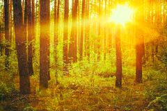 Autumn Forest Under Sunset Sunbeams Automne images stock