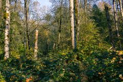 Autumn forest undergrowth. White trees sticking out of green forest undergrowth below a bright sky Royalty Free Stock Photo