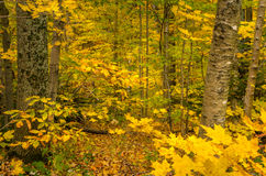 Autumn Forest in Vermont. With Yellow Maple leaves in Foreground Royalty Free Stock Photo