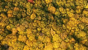 Autumn forest video made by drone stock video footage