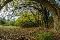 Autumn forest in wide angle shot, fairytale scenery. Leaves and bending trees in autumn forest, wide angle shot stock photography