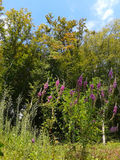 Autumn forest and wild flowers. Bright autumn colors, trees with yellow foliage and pink wild flowers at sunny day Royalty Free Stock Image
