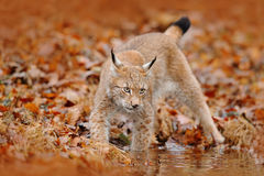 Free Autumn Forest With Lynx. Lynx Walking In The Orange Leaves. . Wild Animal Hidden In Nature Habitat, Germany. Lynx Between Two Tree Stock Image - 80568161