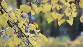 Autumn forest - yellow aspen leaves in the rays of the setting sun. Autumn landscape, golden autumn stock footage