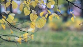 Autumn forest - yellow aspen leaves in the rays of the setting sun. Autumn landscape, golden autumn stock video footage