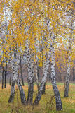 Autumn forest with yellow birches Stock Photo