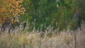 Autumn forest with yellow birches and dry herb stock footage