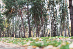 Autumn forest, yellow carpet of fallen leaves and green grass. Stock Images