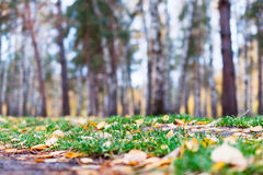 Autumn forest, yellow carpet of fallen leaves and green grass. Stock Photography