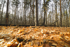 Autumn forest, yellow carpet of fallen leaves. Stock Photos